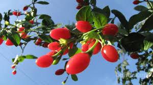 goji jagode uporaba