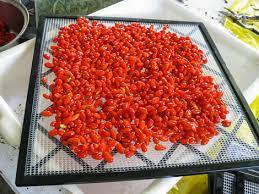 goji jagode sušenje