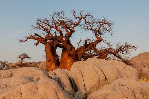 Baobab v prahu